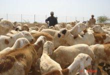 Photo of بنحو ٨ آلاف رأس.. دخول الشحنة الأولى من المواشي للسعودية