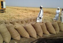 Photo of اكتمال تحضيرات حصاد القمح بمشروع سندس بمتوسط انتاج 15 جوالاً